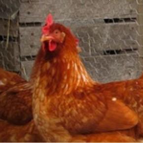 Adopt a hen